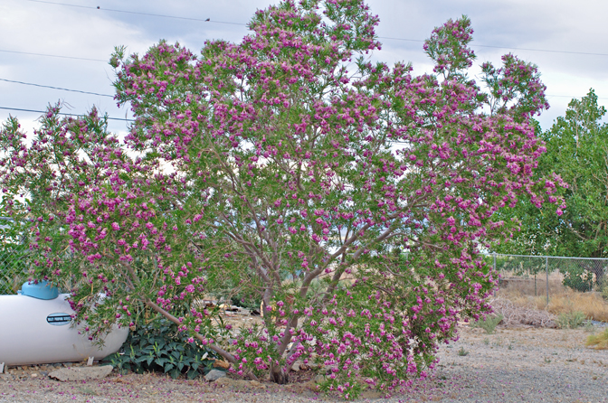 Desert Willow Seeds Chilopsi Tree/Bush with Orchid Like Flowers